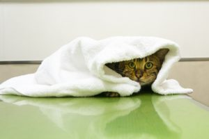 診察台でおびえるネコ