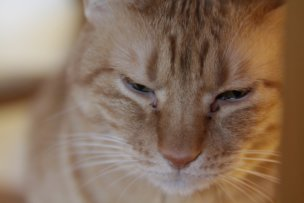 猫の目がかゆい「目ヤニ」や涙がでたら要注意