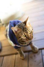洋服を嫌がらないネコ